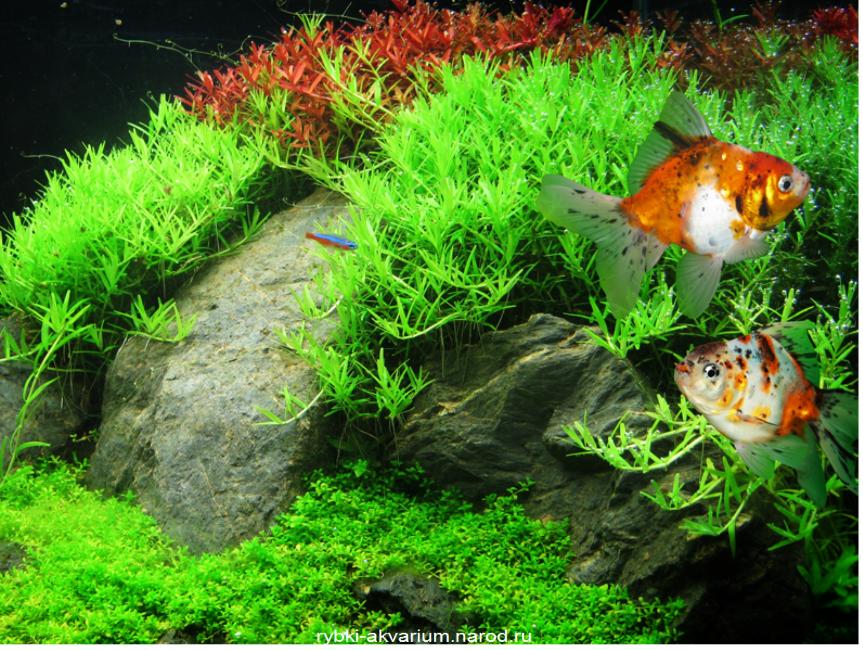 Яванский мох в аквариуме фото